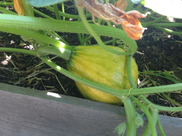 unidentified squash object